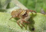 Phidippus princeps; Jumping Spider species