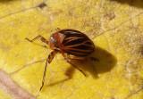 Phylloscelis atra; Black Leaf-Leg
