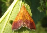 5040 - Pyrausta bicoloralis; Bicolored Pyrausta Moth