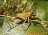 Scudderia Bush Katydid species; female nymph