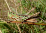 Syrbula admirabilis; Admirable Grasshopper; female