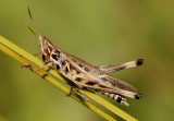 Syrbula admirabilis; Admirable Grasshopper; male