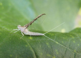 Callibaetis skokianus; Small Minnow Mayfly species; female