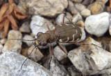 Cicindela repanda; Bronzed Tiger Beetle