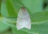 3747 - Coelostathma discopunctana; The Batman Moth
