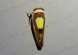Colladonus clitellarius; Saddleback Leafhopper