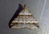 8338 - Phalaenophana pyramusalis; Dark-banded Owlet