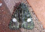 9619 - Phosphila miselioides; Spotted Phosphila