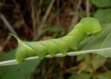7809 - Sphinx kalmiae; Fawn Sphinx caterpillar