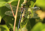 Aeshna constricta; Lance-tipped Darner; male