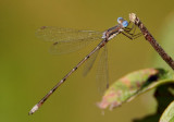 Lestes congener; Spotted Spreadwing; male