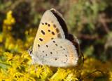 Lycaena phlaeas; American Copper