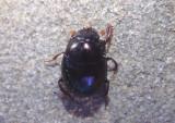 Pseudocanthon perplexus; Dung Beetle species