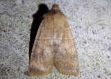 9933 - Eupsilia vinulenta; Straight-toothed Sallow