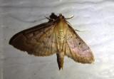 5272 - Herpetogramma bipunctalis; Southern Beet Webworm Moth