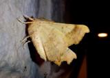 6797 - Ennomos magnaria; Maple Spanworm