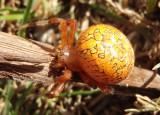 Araneus marmoreus; Marbled Orbweaver