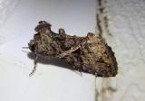 8889 - Ctenoplusia oxygramma; Sharp-stigma Looper Moth