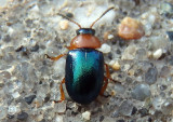 Gastrophysa polygoni; Leaf Beetle species