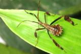 Hemiptera of Ecuador III