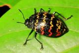 Coleoptera of Ecuador III
