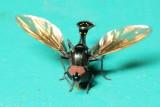 Flower Fly, Ocyptamus adspersus (Syrphidae: Syrphinae)