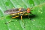 Snail-killing Fly, Thecomyia sp. (Sciomyzidae)