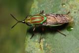 Soldier Fly, Promeranisa sp. (Stratiomyidae: Stratiomyinae)