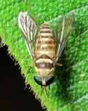 Horse Fly, Dichelacera (Dichelacera) sp. (Tabanidae: Tabaninae)
