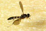 Soldier Fly, Merosargus sp. (Stratiomyidae: Sarginae)