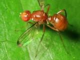 Ant-like Scavenger Fly, Meropliosepsis sexsetosa (Sepsidae)