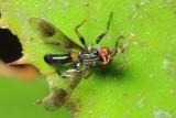 Richardiid Fly, Richardia sp. (Richardiidae: Richardiinae)