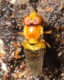 Flower Fly, Copestylum sp. (Syrphidae: Eristalinae)