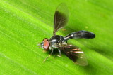 Flower Fly, Ocyptamus sp. (Syrphidae: Syrphinae)