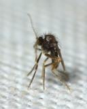 Frog-biting Midge, Corethrella sp. (Corethrellidae)