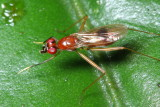 Stilt-legged Fly, Grallipeza cf. (Micropezidae: Taeniapterinae)