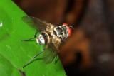 Parasitic Fly, Calodexia sp. (Tachinidae)