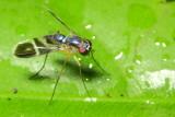 Long-legged Fly, Condylostylus sp. (Dolichopodidae: Sciapodinae)