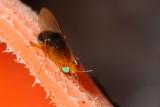 Celypholauxania cf. (Lauxaniidae)