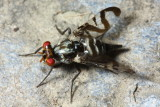 Stalk-eyed Fly, Plagiocephalus latifrons (Ulidiidae: Ulidiinae)