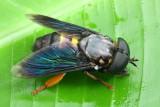 Horse Fly, Stibasoma (Stibasoma) sp. (Tabanidae: Tabaninae)