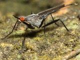Cactus Fly, Nerius sp. (Neriidae)