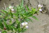 Sea Holly, Acanthus ilicifolius (Acanthaceae)