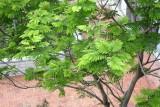 Yellow Flame Tree, Peltophorum pterocarpum (Fabaceae)