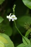 Coromandel, Asystasia gangetica (Acanthaceae)