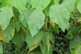 Elephant's Ear, Macaranga tanarius (Euphorbiaceae)