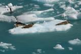 Harbour Seals (Phoca vitulina)