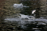 Pink Salmon leaping
