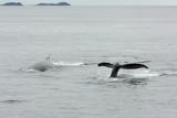 Humpbacks diving