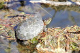 Eastern Painted Turtle (Chrysemys picta picta)